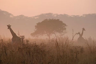 Welcome-to-Wildmoz-Giraffe-in-the-mist