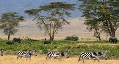 Why-Wildmoz-Wildmoz-Zebras