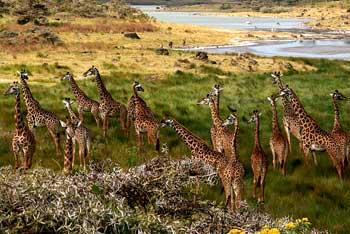 Africa-Giraffe-Tanzania