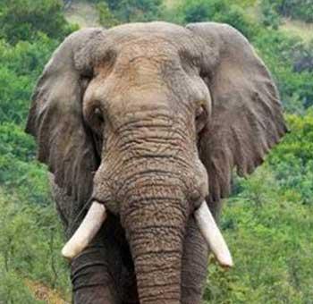 Elephant-Lone-Bull