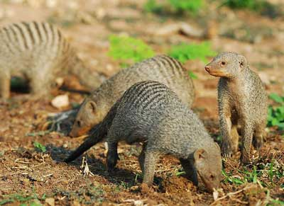 Banded-Mongoose-Family