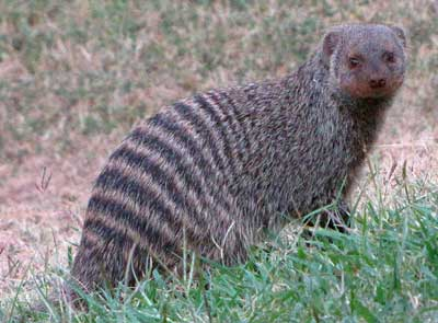 Banded-Mongoose-Adult