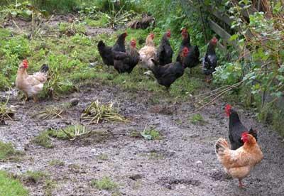 Chicken-Casserole-Chooks-on-the-range