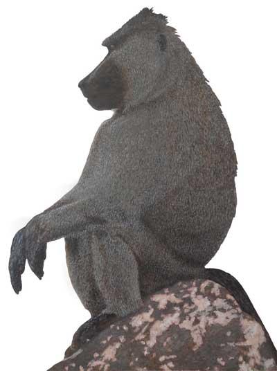 Bundu-Bashing-Chacma-Baboon