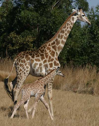 Giraffe-Tall-Tales-of-Africa-Giraffe-and-Baby