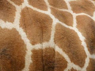 Giraffe-Tall-Tales-of-Africa-Rothschilds-Giraffe