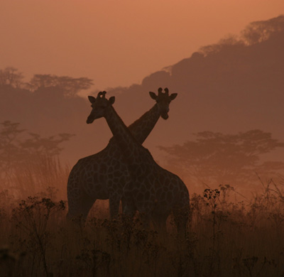 Giraffe-Tall-Tales-of-Africa
