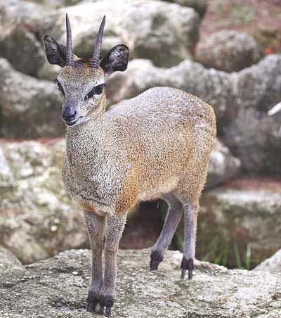 Mountain-Wilderness-Klipspringer