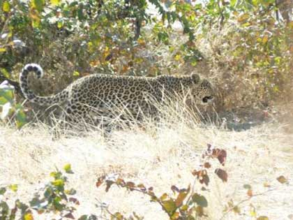 Cape_Leopard_Wildmoz
