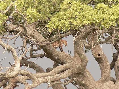 Leopard-Wildmoz-Tanzania