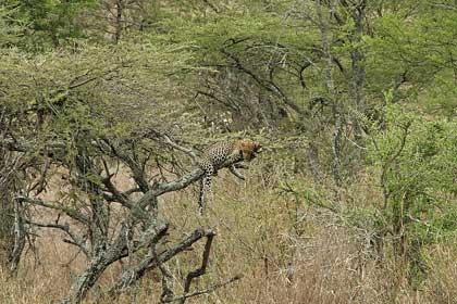 cape_leopard_Leopard-Wildmoz