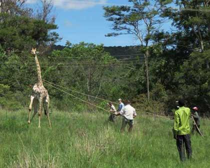Giraffes-Capture-Rescue