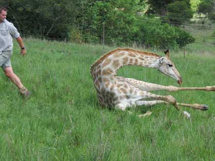 Giraffe-I'm-Outta-here