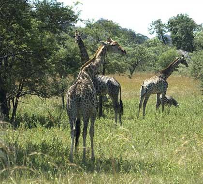 Giraffes-Chillin'