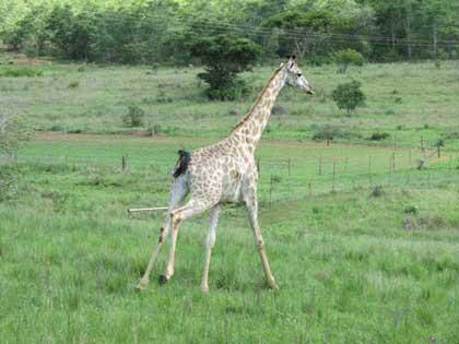 Giraffe-wait-for-me