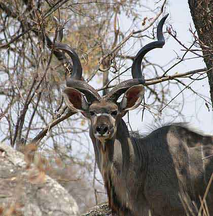 Bushveld-Kudu-Bull
