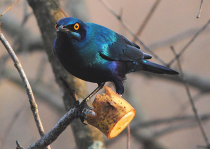 Nyum-Nyum-Tree-Glossy-Starling