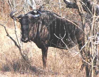 Timbavati-wildebeest