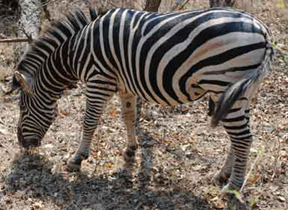 The-Rain-Zebra-Stalion