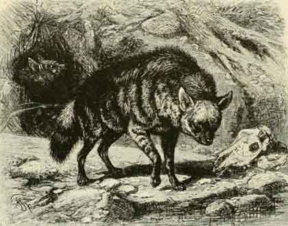 Aardwolf-Illustration-Wildmoz.com