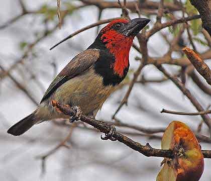 Birds-of-the-Bushveld-Black-collared-Barbet