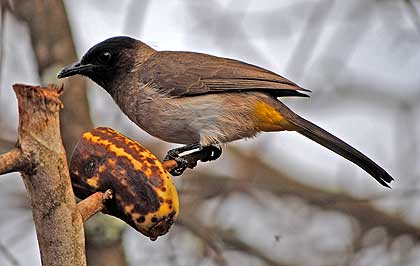 Birds-of-the-Lowveld-Black-eyed-Bulbul