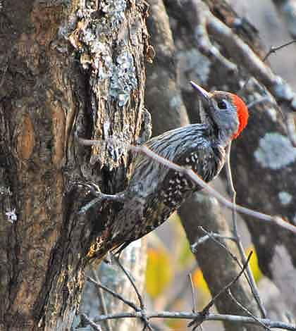 Birds-of-South-Africa-Cardinal-Woodpecker