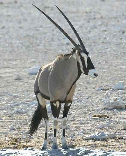 Ram-Kalahari-Gemsbok