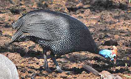 Birds-of-the-Kruger-Guinea-Fowl