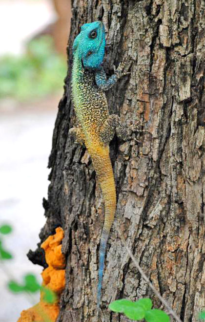 Blue-Headed-Agama-Little-big-five-Wildmoz.com