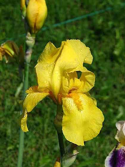 Iris Hybrid Yellow
