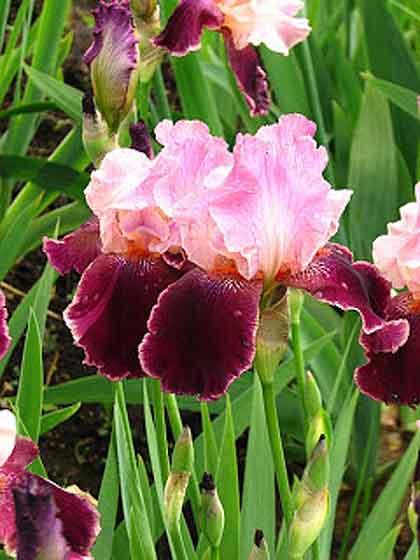 Porcupine-Eating-Irises