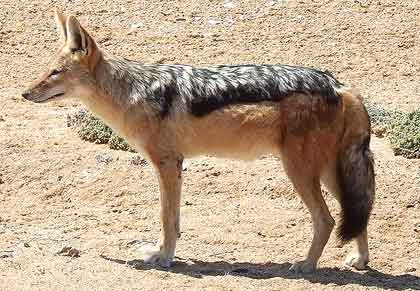 Ram-and-Kalahari-Jackal