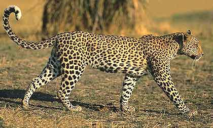 Ram-and-African-Leopard