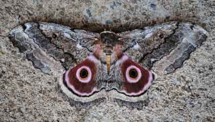 Mopane-moth-Little-big-five-animals-Wildmoz.com