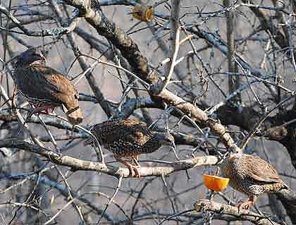 Birds-Natal-Francolin-in-a-Tree