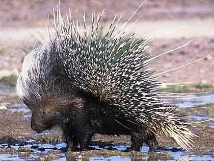 Porcupine-Drinking