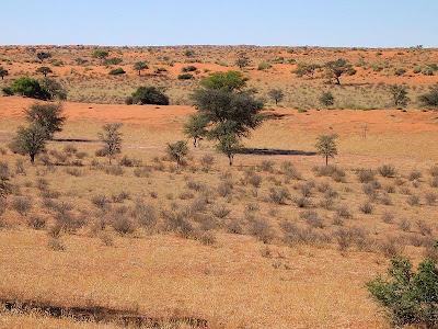 Ram-Red-Kalahari