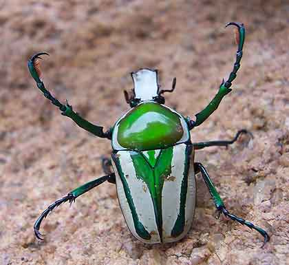 Sap-Eating-Regal-Fruit-Chafer-Beetle-Wildmoz.com