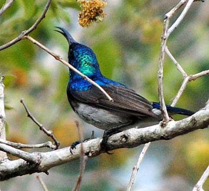 Birds-of-Kruger-Park-White-bellied-Sunbird