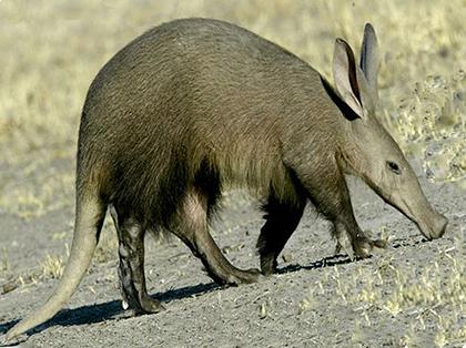 Tusks-Aardvark-Wildmoz.com