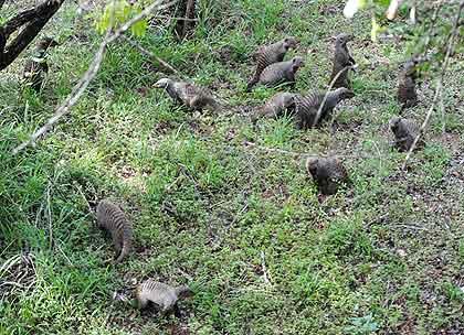 African-Yard-Banded-Mongoose-Wildmoz.com