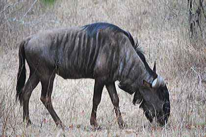 Bush-Animals-Wildebeest