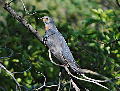 Bush-Animals-Cuckoo