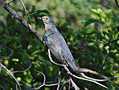 Bush-Animals-Cuckoo