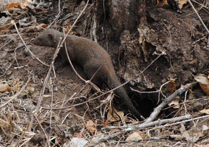 African-Yard-Dwarf-Mongoose-Wildmoz.com