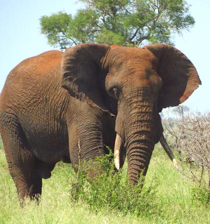 Tusk-Elephant-Wildmoz.com