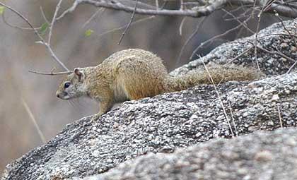 African-Yard-Ground-Squirrel-Wildmoz.com
