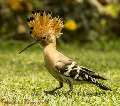 Hoopoe-with-crest-open