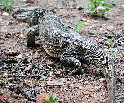 African-Yard-Ground-Lizard-Wildmoz.com